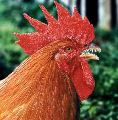 rare-chicken-16109